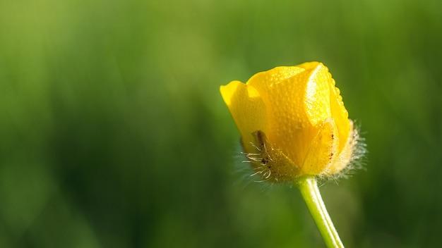 푸른 잔디 앞의 노란색 미나리 꽃의 얕은 초점 근접 촬영 샷