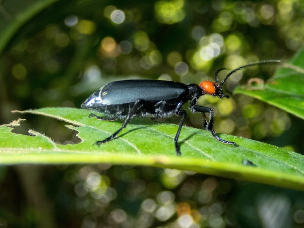 Shallow focus of an epicauta beetle on a leaf