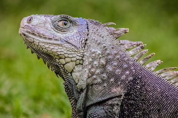 Fuoco poco profondo di un'iguana su sfondo verde sfocato