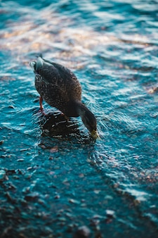 Shallow focus photo of black duck