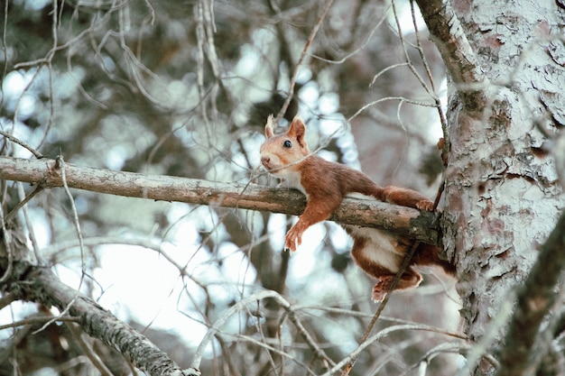 Shallow focus of a red squirrel climbing a tree branch