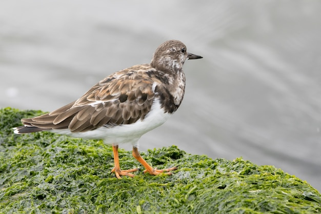 Shallow focus of a ruddy turnstone on a seaweed covered rock at the shore