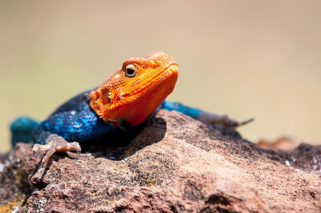 Shallow focus shot of an agama lizard resting on the rock