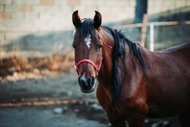 Colpo poco profondo del fuoco di un cavallo marrone che indossa un cablaggio rosso