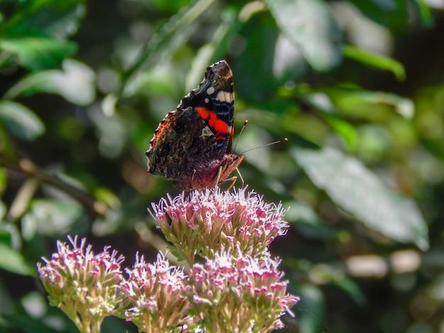 Colpo poco profondo del fuoco di una farfalla che raccoglie il nettare da un fiore con uno sfondo sfocato