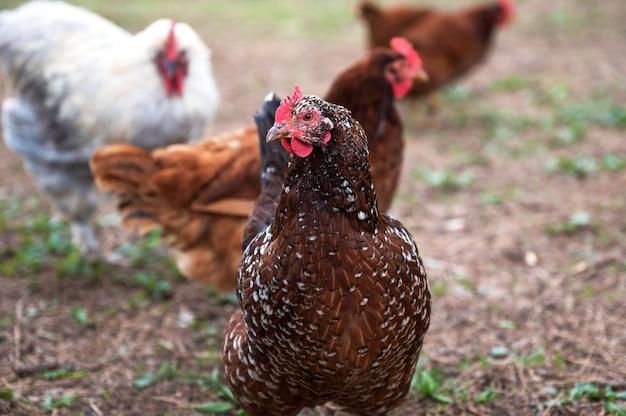 カリフォルニアの牧場での鶏の浅いフォーカスショット
