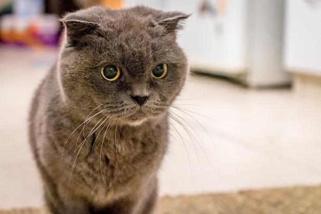 바닥에 앉아 호기심 회색 영국 쇼트 헤어 고양이의 얕은 초점 샷