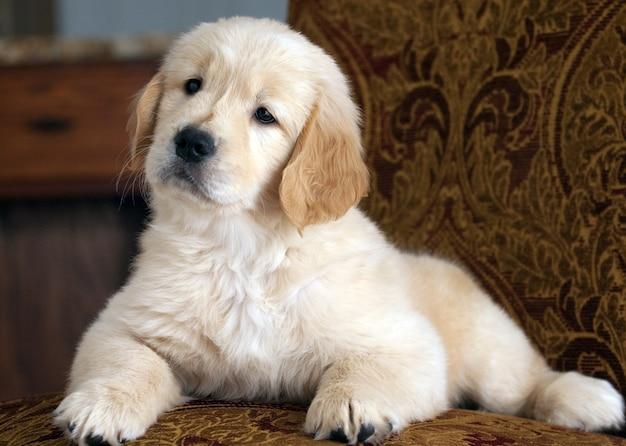 소파에 쉬고 귀여운 골든 리트리버 강아지의 얕은 초점 샷