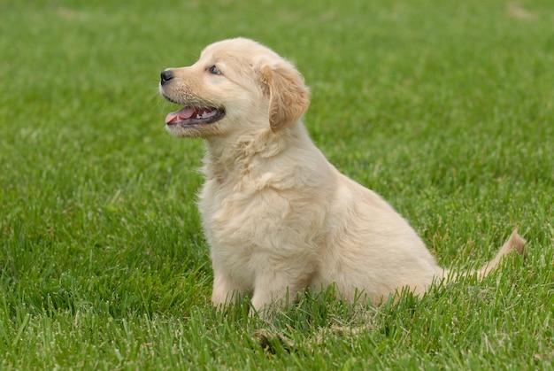 잔디 바닥에 앉아 귀여운 골든 리트리버 강아지의 얕은 초점 샷