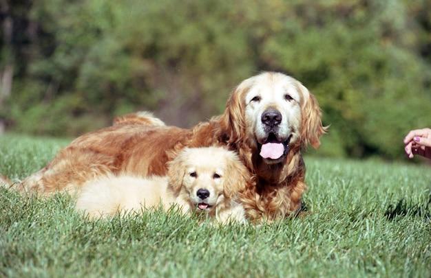 草地で休んでいる古いゴールデンレトリバーとかわいい子犬の浅いフォーカスショット