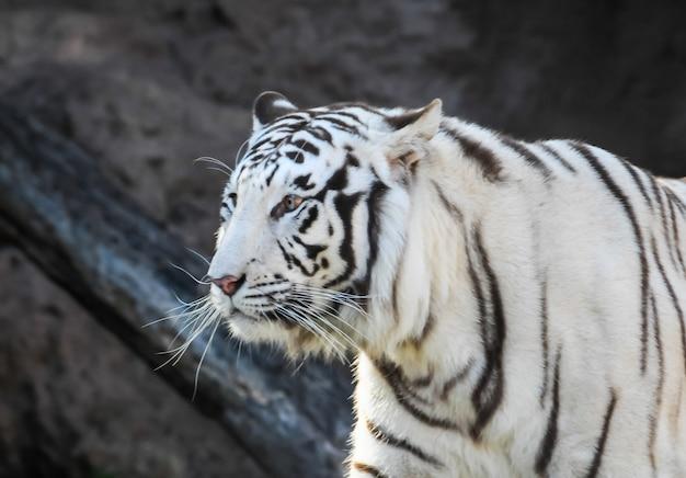 흰색과 검은 색 줄무늬 호랑이의 얕은 초점 샷