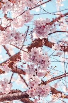 아름다운 푸른 하늘 아래 아름다운 분홍색 벚꽃의 얕은 초점 샷