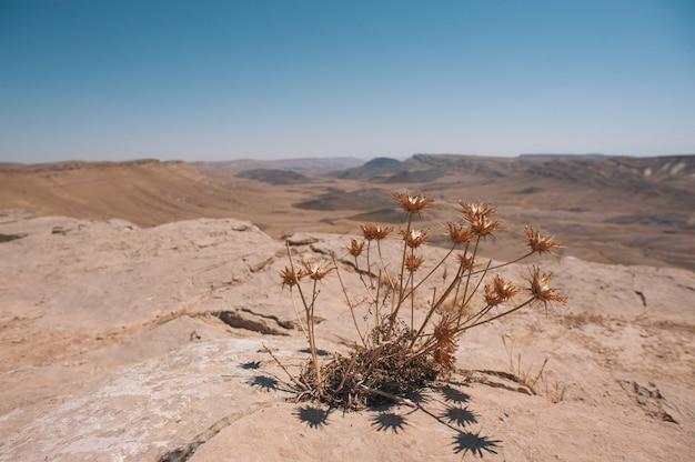 이스라엘 네게브 사막의 암석 표면에서 자란 마른 식물 잎의 얕은 초점