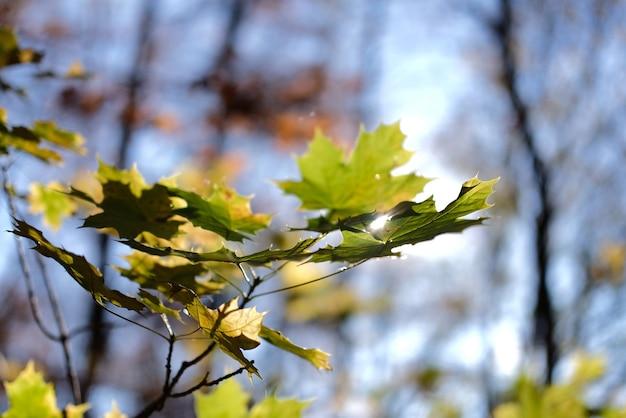 枝にカエデの葉の浅いフォーカスショット