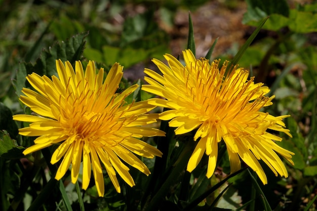 ぼやけた距離での鮮やかな黄色の花の浅いフォーカスショット