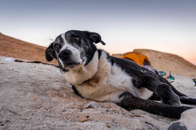Colpo poco profondo del fuoco di un vecchio cane che riposa su una terra di superficie sabbiosa
