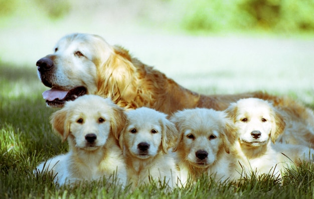 Shallow focus shot of an old golden retriever with four puppies resting on a grass ground