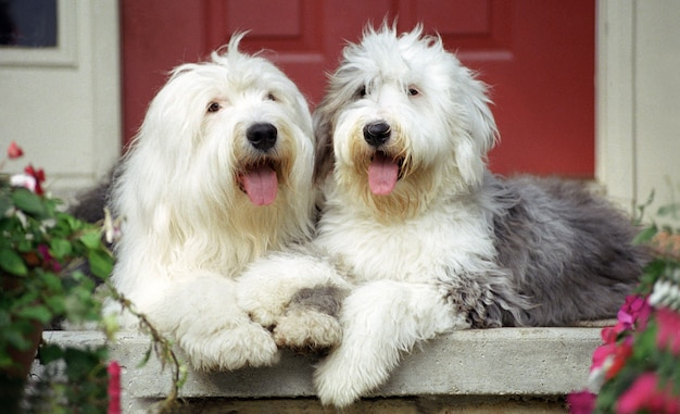 Shallow focus shot of two cute sheepdogs resting on the floor