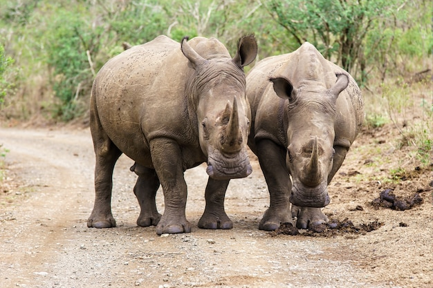 Shallow focus shot of two rhinoceros walking on the road