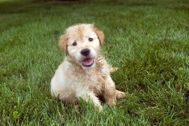 Shallow focus shot of a wet golden retriever puppy sitting on a grass ground