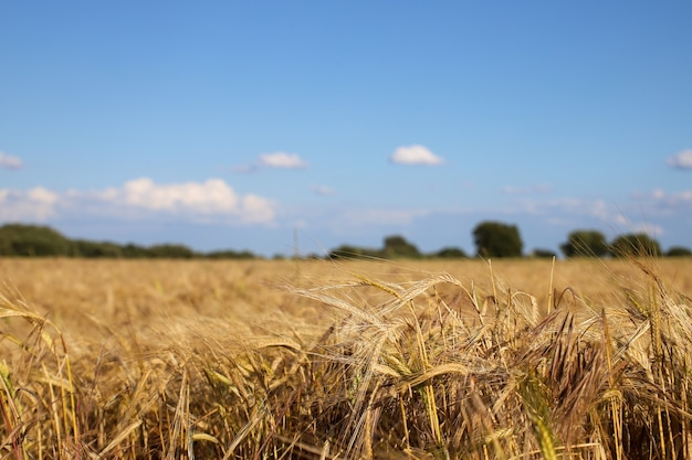 Shallow focus shot of a wheat field with a blurry blue sky