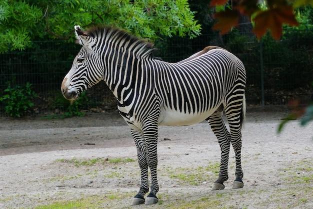 Colpo poco profondo del fuoco di una zebra che si leva in piedi al parco