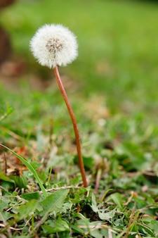 Неглубокий вертикальный снимок пушистого цветка одуванчика на размытом фоне