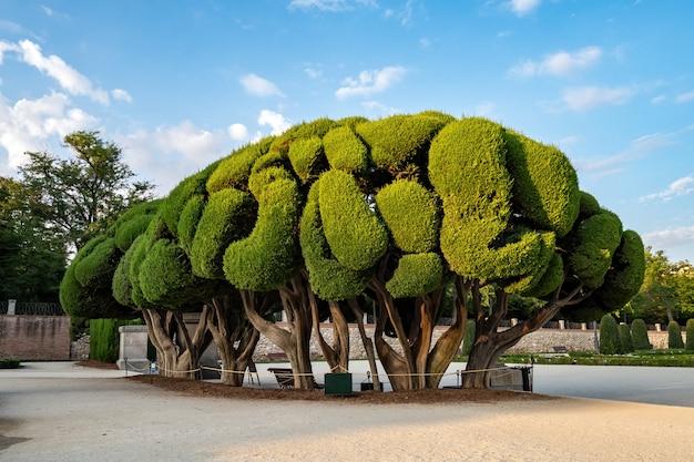 夏の日の出、マドリード、スペインのブエンレティーロ公園の形をしたヒノキの木