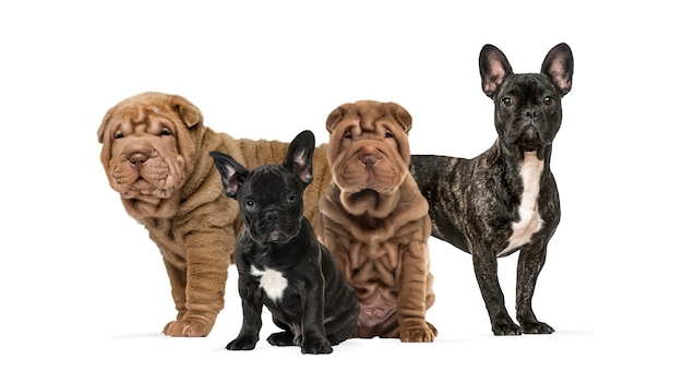 Shar pei puppies and french bulldogs together against white