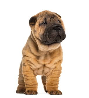 Shar pei puppy, standing, isolated on white