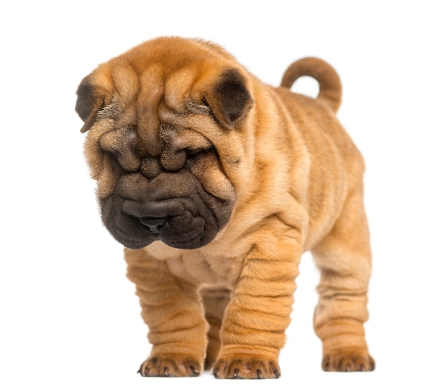 Shar pei puppy, standing and looking down, isolate