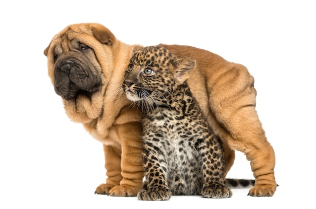 Shar pei puppy standing over a spotted leopard cub, isolated on white