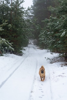 Shar pei winter in the coniferous forest.