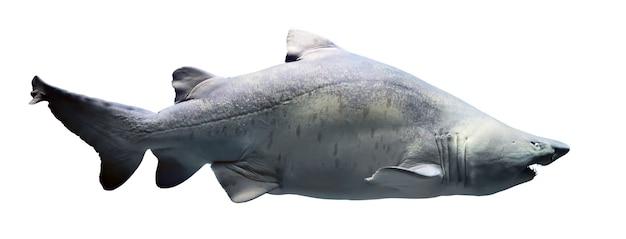 상어 흰색 배경에 고립입니다. 전신