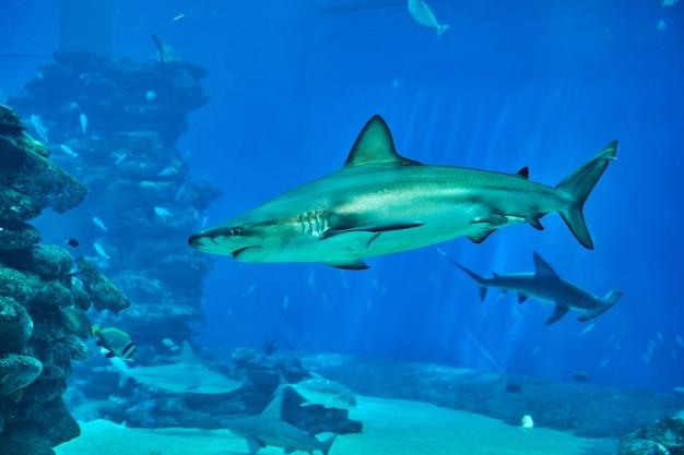 홍해의 대형 수족관에 있는 상어가 다른 이국적인 물고기들 사이에서 헤엄치고 있습니다.