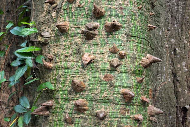 巨大なセイバの木の鋭いとげのクローズアップ
