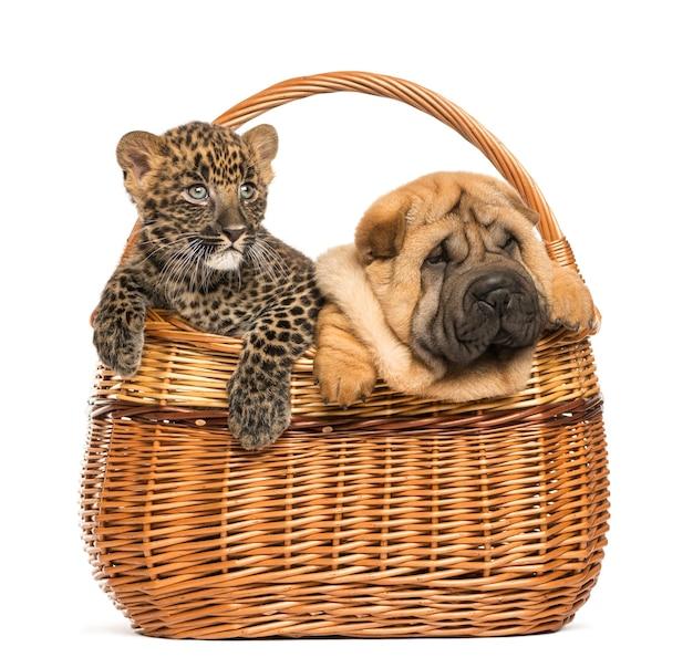 シャーペイの子犬と籐のかごの中の斑点のあるヒョウの子犬、白で隔離