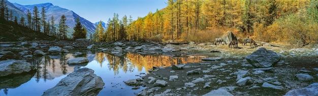 Shavlo lake sunset rays illuminate golden larches and grazing horses altai mountains