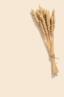 Sheaf of wheat ears close up on set sail champagne color background natural cereal plant