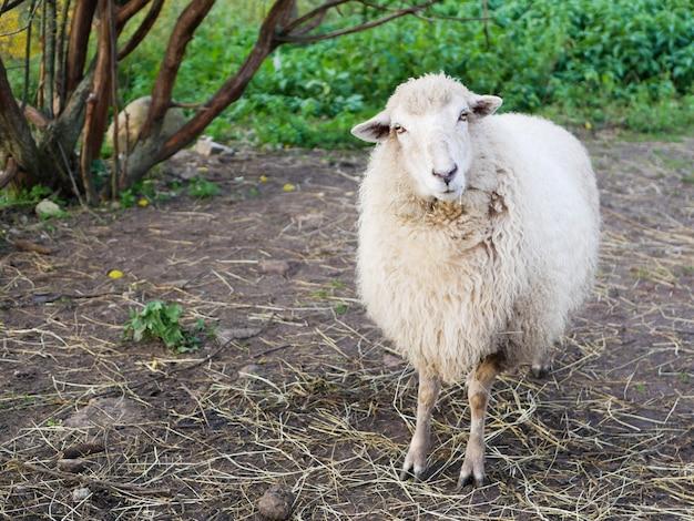 Not a sheared sheep. sheep breeding. livestock. white sheep
