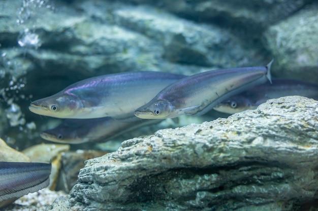 Рыба-сом в реке таиланд