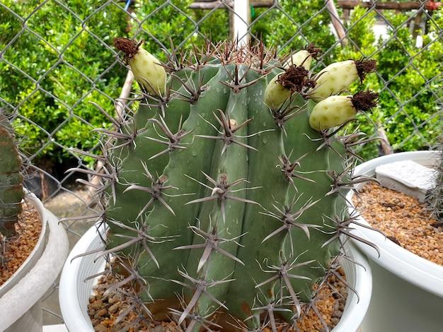 Ножны кактуса фото на кактусовой ферме