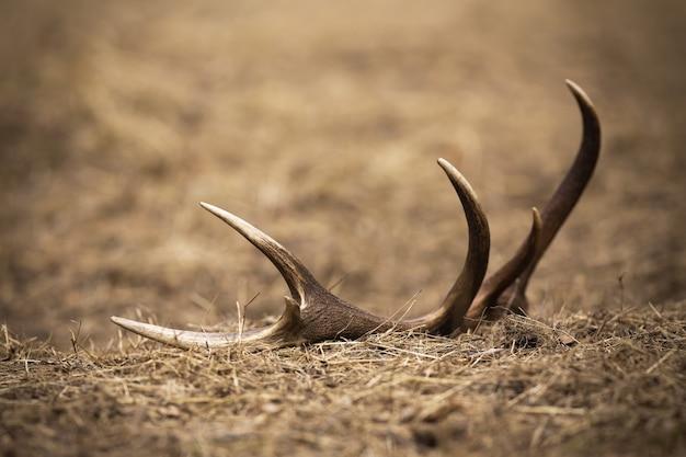 春の自然の中で地面に横たわっているアカシカの雄鹿からの小屋