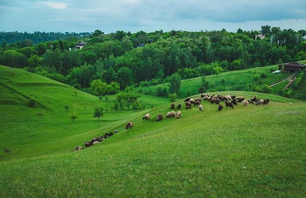 Овцы и козы пасутся на лугу