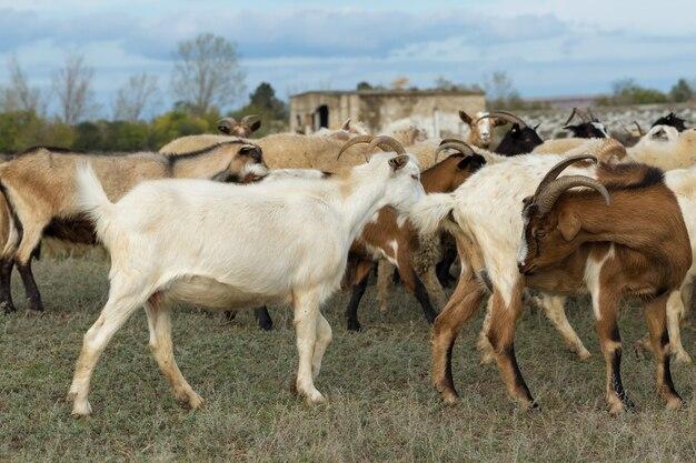 양과 염소는 봄에 푸른 풀밭에서 풀을 뜯는다