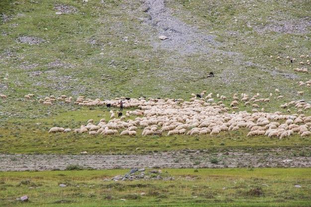 계곡의 양과 염소. 국내 동물의 삶. 산에서 농장입니다. 양의 큰 그룹입니다.