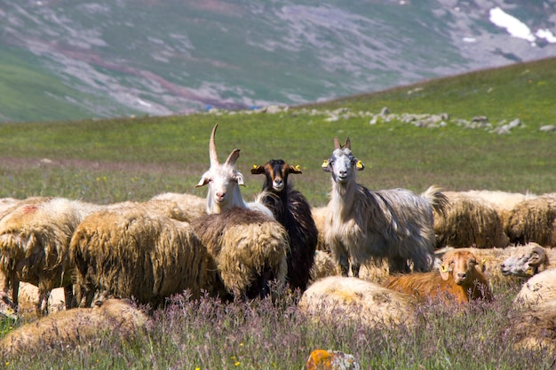 계곡의 양과 염소. 가축 생활. 산에있는 농장. 양의 큰 그룹.