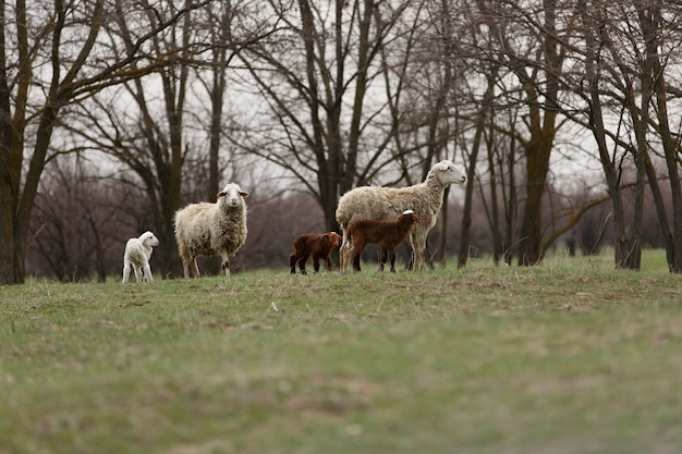 봄 녹색 초원에서 양과 양 방목