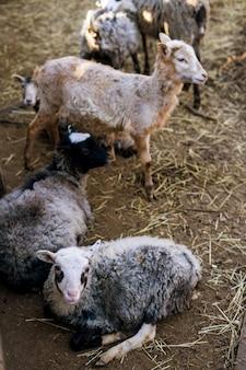 農場の羊と子羊