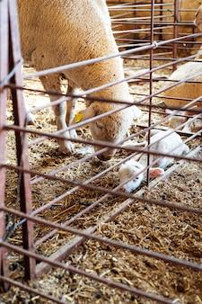 Овца и новорожденный теленок обнимаются на лугу